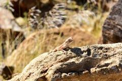 Mimetic lizard at Petrified Forest, Khorixas, Namibia Stock Image