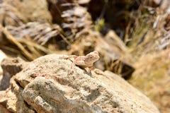 Mimetic lizard at Petrified Forest, Khorixas, Namibia Stock Photos