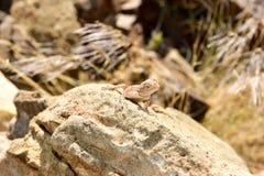 Mimetic lizard at Petrified Forest, Khorixas, Namibia Royalty Free Stock Image