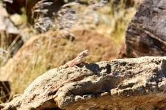 Mimetic lizard at Petrified Forest, Khorixas, Namibia Stock Photo