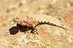 Mimetic lizard at Petrified Forest, Khorixas, Namibia Royalty Free Stock Photos