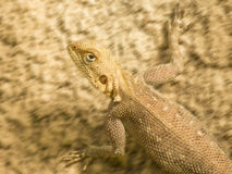 Mimetic lizard running on a sandy soil, Senegal royalty free stock images