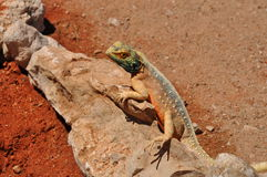 Mimetic reptile, kalahari. Mimetic reptile on rocks and red sand, kalahari desert Stock Photo