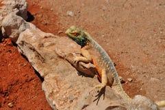 Mimetic reptile, kalahari Stock Photo