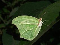 Mimetic Schmetterling stockbilder