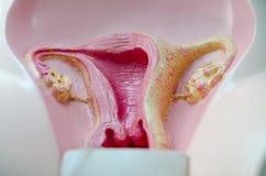 Mimetic vrouwelijk reproductief orgaan royalty-vrije stock afbeeldingen