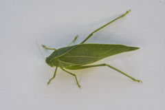 Mimetism. A leaf insect - walking leaves - popular names of the Phylliidae family Royalty Free Stock Photo