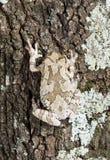 Mimetyzm Cope drzewnej żaby Hyla szarzy chrysoscelis, versicoloro Obraz Stock