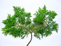 mimi结构树 免版税库存照片