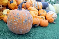 Mimi pumpkin Royalty Free Stock Photography