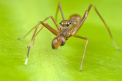Mimic ant jumping spider. Royalty Free Stock Photos