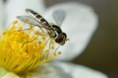 Mimic bee Stock Image