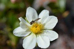 Mimic bee Stock Photo