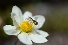 Mimic bee Royalty Free Stock Photo