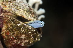 Mimic blenny Stock Photo