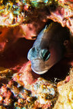 Mimic Blenny Stock Images