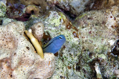 Mimic blenny (ecsenius gravieri). Stock Photos