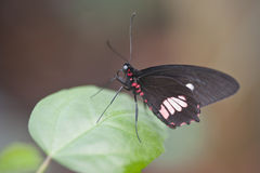 Mimic Kite Swallowtail butterfly Mimoides ilus branchus Stock Images