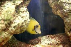 Mimic Lemon Peel Tang (Acanthurus pyroferus) Stock Images