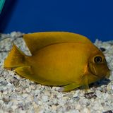 Mimic Lemon Peel Tang. The Mimic Lemon Peel Tang, also known as the Mimic Surgeon, or Chocolate Surgeonfish, has an oval, yellow body while a juvenile. It has Royalty Free Stock Photo