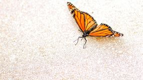 Mimic of Monarch butterfly, Florida royalty free stock photography