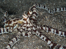 Mimic octopus. On black sand Royalty Free Stock Photography
