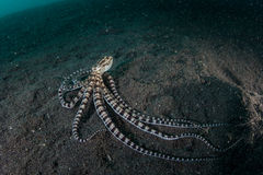 Mimic Octopus On Black Sand in Lembeh Strait Stock Images
