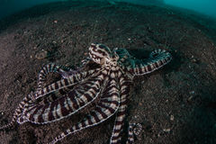Mimic Octopus Crawling on Black Sand Stock Image