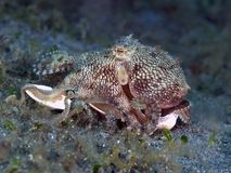 Mimic octopus. In molucca sea Royalty Free Stock Photo