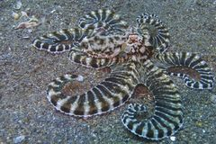 Mimic Octopus, Sogod Bay, Padre Burgos, Leyte, Philippines, Asia. Mimic Octopus are really amazing sea creatures as they can mimic many types of other fish. This Royalty Free Stock Image