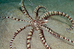 Mimic octopus (thaumoctopus mimicus) in the Red Sea. Royalty Free Stock Images