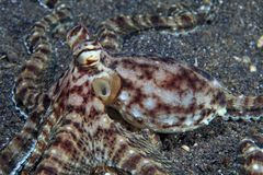 Mimic octopus Royalty Free Stock Photos