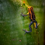 Mimic Poison Frog or poison arrow frog. Poison dart frog, Ranitomeya imitator Jeberos is a species of poison dart frog found in the north-central region of stock photos