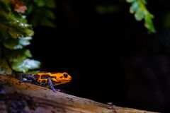 Mimic Poison Frog, orange black blue royalty free stock photos