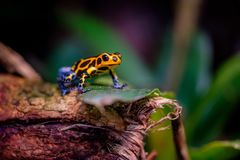 Mimic Poison Frog, poison arrow frog. Mimic Poison Frog, Ranitomeya imitator Jeberos is a species of poison dart frog found in the north-central region of royalty free stock photography