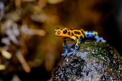 Mimic Poison Frog. Ranitomeya imitator Jeberos is a species of poison dart frog found in the north-central region of eastern Peru. Its common name include  and stock photo