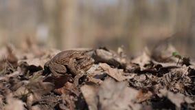 Mimicry και ερπετά, παραδείγματος χάριν, βάτραχοι απόθεμα βίντεο