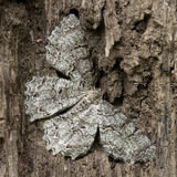 Mimicry. A close up on a brown moth mimicking dead tree Stock Images