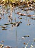 Mimicry. Crocodile hidden in a lake, Botswana, Africa Royalty Free Stock Image