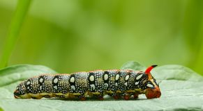 Mimicry false head of caterpillar. Macro of hawk-moth caterpillar Hyles euphorbiae crawling on green leaf. Hornworm caterpillar camouflage head and demonstrate Stock Photos