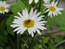 Mimicry-a fly humming on a daisy royalty free stock images
