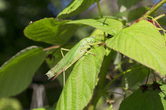 Mimicry. Green locust on green raspberry leaf Royalty Free Stock Images