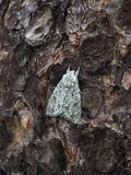 Mimicry in insects. A butterfly maple Lancet Acronicta aceris on a pine tree trunk. Royalty Free Stock Photo
