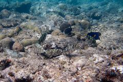 Mimicry. Six Siganidae  are on the seabed. Six Siganidae and Yellowtail tang are on the seabed Stock Photography