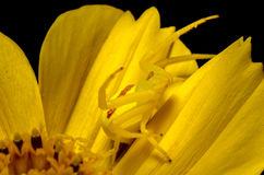 Mimicry. A yellow spider camouflaged on a yellow flower Stock Photo
