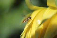 Mimiczna komarnica na kwiacie zdjęcia royalty free