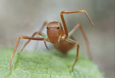 Mimische mier het springen spin Royalty-vrije Stock Afbeeldingen