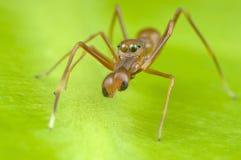 Mimische mier het springen spin Royalty-vrije Stock Foto's