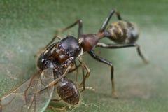 Mimische Spinne der Ameise mit Opfer Stockfoto