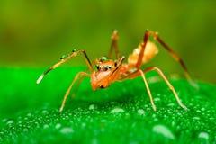 Mimische Spinne der Ameise mit Wassertropfen Stockfotos